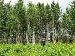 Holz-Plantage