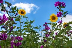 Sonnenblumen und Malven als Teil einer mehrjährigen Wildpflanzenmischung für Biogas im 1. Standjahr.